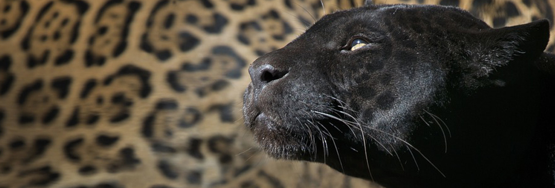 photo of the face of a black panther with a leopard print background