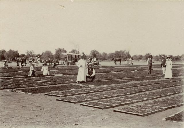 Photograph showing the original method of drying grapes on wooden pallets and hessian, circa 1890s.