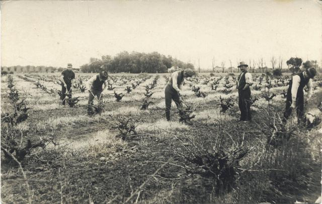 Photograph showing vine pruning circa 1890s